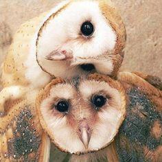 Flickr / sinamigos  #barn owl