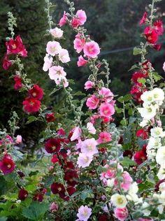 Hollyhocks, English Cottage garden                              …