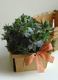 """Mother's Day - Hen & Chick Basket  Hen and chick succulents fill a vintage berry basket accented with a gingham bow. This 4 1/2"""" potted arrangement can be transplanted to your own garden allowing you to enjoy their beauty year after year."""