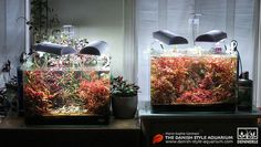 "Two Danish Style Aquariums : ""Dragons Sunset"" and ""Red is the New Green"" - by Marie-Sophie Germain  - www.mariesophiegermain.net - www.danish-style-aquarium.com"