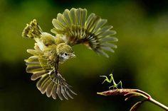 Bird vs. Praying Mantis