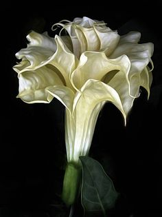 ANGEL TRUMPET - BEAUTIFUL, WITH PLEASING SCENT TOWARDS EVENING, EASY TO GROW BUT HIGHLY POISONOUS AND TOXI = LEAVES, STEM FLOWERS AND SEEDS (DATURA FAMILY)