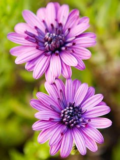 3D Series Osteospermum  The 3D series offers three stunning hues: '3D Purple', '3D Pink', and '3D Silver'. Flowers stay open all day and night. The tufted blooms feature a frilly center surrounded by single petals. This long-trailing osteospermum is ideal for window boxes and hanging baskets. It's also great for early spring, late spring, and early summer containers because osteospermum prefers cool weather.  Grow it w/petunias  Full sun, well-drained soil