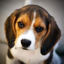 cute beagle puppy, gimme, now!!!!!!