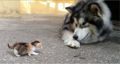 Husky Malamute meets a tiny kitten for the first time!