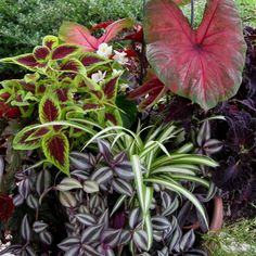 Shade Container Garden - (1)Caladium (2)Spider Plant (3)Zebra Striped Wandering Jew (4)Purple (5)Heart Wandering Jew (6)Red and Green Coleus (7)Deep Purple Coleus  (8)Moss Rose (9)White Begonia