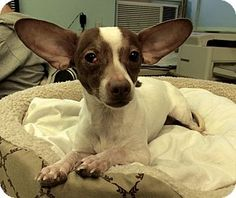 Luigi could fly away with those ears! http://www.adoptapet.com/pet/12155511-new-york-new-york-chihuahua-mix