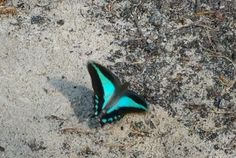 Blue Triangle (Graphium sarpedon) butterfly Puddling in neighbour's sandpit. Sand Pit, Turquoise Necklace, Triangle, Gardens, Butterfly, Link, Blue, Litter Box, Outdoor Gardens