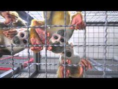 Jaziquima, la nueva exhibición de primates del Zoológico de Cali que abre el jueves El nuevo espacio de exhibición de monos es el más grande de su tipo en América Latina. Habrá seis especies de primates.