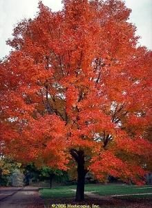 Red Sunset Maple, just planted this tree this year. I hope it becomes this pretty.