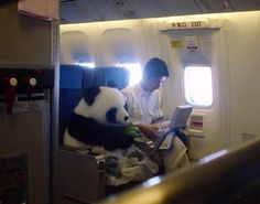 A real panda!!! China has a panda diplomacy act & this adorable animal is being sent to Japan as a friendship envoy. For safety reasons, the panda sits as a passenger with its feeder, seatbelt fastened, wearing a diaper and eating bamboo. Now how cute is that!