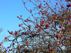 Wild rosehips and how to use them!