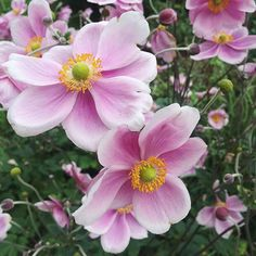 Japanese anemones...one of my favourite garden flowers. Florists did you know that they're available in pink and white from @zestflowerslondon at @marketflowers? #photooftheday #floweronacaptures