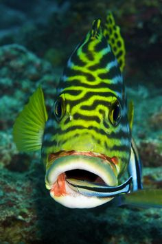 Cleaner wrasse attends to a sweetlips, entering the mouth for a wash and brush-up.