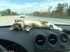 Video shows a content cat lounging on the dashboard of a car while cruising | Daily Mail Online