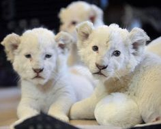 White Lion Cub, $138,000  Result of a genetic mutation, they are a rare and an endangered species and therefore very controversial. Their cuteness, scarcity and high demand make them some of the hardest animals to obtain in the world!