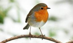 Robin - Google 検索