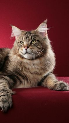 cat, maine coon, fluffy http://www.mainecoonguide.com/what-is-the-average-maine-coon-lifespan/