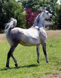 HT Safiya. 2009 Grey Straight Egyptian mare. Thee Equalizer {Thee Desperado x Naamoura by Ibn Morafic} x MB Salita {Safeen x Double Delite by Ibn Alaa El Din} Bred by Joan and Ernest Woodward, High Tor Arabians, Lancashire, UK.