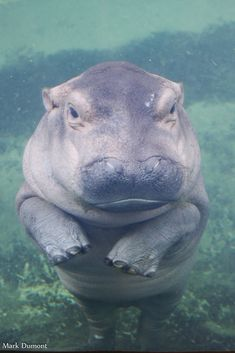 Hippo fiona   The World's Best Photos of animals and hippo - Flickr Hive Mind