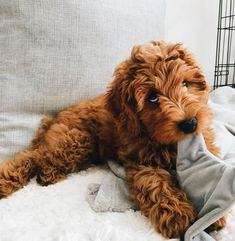 Oh myyyy 🥰 Precious pup! Cute Little Puppies, Cute Little Animals, Cute Dogs And Puppies, Cute Funny Animals, Doggies, Cute Animal Pictures, Puppy Pictures, Mini Goldendoodle, Goldendoodles