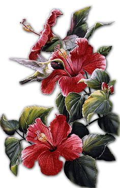 Hibiscus gnral courtigis illustrations flowers rhs prints hand ccuart Images