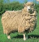 The Cotswold sheep breed - Bing Images