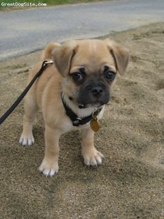 """""""Chug"""" chihuahua/pug mix ... they grow up to be just as cute. Like having a permanent puppy."""