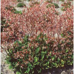 Skyggesildre, h 20-30cm, halvskygge, blomstrer mai-juli, planteavstand 30 cm, sprer seg utover.