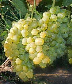 Супер Экстра  (Талисман х (Кардинал + смесь пыльцы)) Очень раннего срока созревания 100-110 дн. Морозостойкость -25 -26 градусов. Выдержал бесснежную зиму Супер Экстра - столовая форма винограда. Куст…