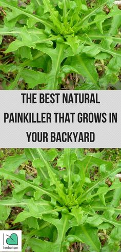 Pain killers have many side effects but did you know that the best natural painkiller might be growing in your backyard? Check out!