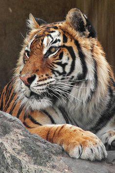 Tiger - http://www.1pic4u.com/blog/2014/09/26/tiger-45/