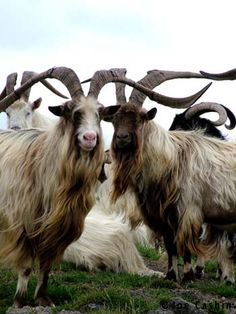 Bilberry goats Waterford, Ireland. A unique Irish breed of feral goat. Magnificent horns!