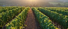 Visit Oregon Wine Country Willamette Valley Pinot noir | Adelsheim Vineyard - Oregon Wine at its best
