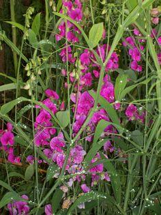 Lathyrus latifolia - everlasting sweetpea