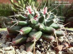Mammillaria magnimamma / Cactus sin fronteras / Manuel Licona