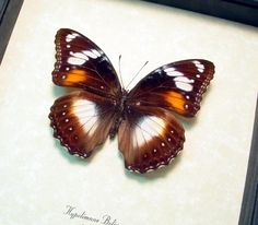 Product Description Species: Hypolimnas bolina Female Interesting Traits: This species is polymorphic with different variations of females Common Name: The Great Eggfly or the Blue Moon Butterfly N…