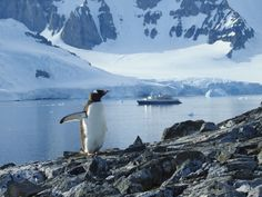 A Gentoo penguin on Orne Island. Orne Islands is a group of small islands lying close north of Ronge Island, off the west coast of Graham Land. Picture by Linda Forey. Gentoo Penguin, Small Island, West Coast, Graham, Penguins, Diving, Islands, Coastal, Wildlife