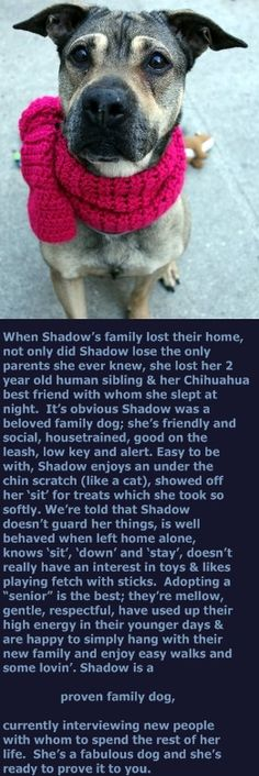 SUPER URGENT Manhattan Center SHADOW – A1101471 FEMALE, BROWN / BLACK, CHINESE SHARPEI / GERM SHEPHERD, 8 yrs OWNER SUR – EVALUATE, NO HOLD Reason OWN EVICT Intake condition GERIATRIC Intake Date 01/12/2017 http://nycdogs.urgentpodr.org/shadow-a1101471/