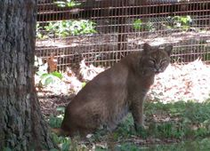 Gorgeous Bobcat at The Nature Station (Land Between the Lakes) #