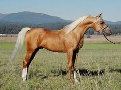 My favorite horse breed: Arab Stallion