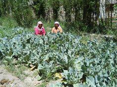 Pragya supported kitchen gardens - addressing malnourishment in high altitude Himalayas Twitter / Recent images by @Pragya Singh NGO www.pragya.org #unfaozhcgarden