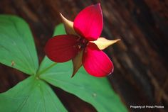 Red Trillium as know as Stinking Benjamin. This is a Wakerobin Trillium which means ii has the flower on a stalk that rises from a whorl of 3 solid green leaves.  10 wakerobins are found in TN.
