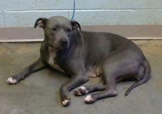 Aurora - URGENT - Dekalb County Animal Shelter in Decatur, Georgia - ADOPT OR FOSTER - 2 year old Female Pit Bull Mix