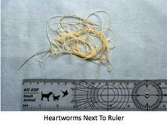 Dogs with heartworms - Vital Facts