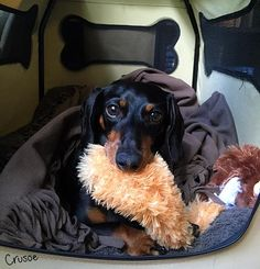 crusoe dachshund famous ivdd