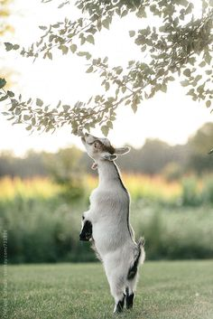 A cute goat eating the leaves from a tree