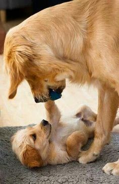 Puppy and parent playing. That is SO cute!