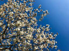 Cherry Blossom, Garden, Plants, Garten, Lawn And Garden, Gardens, Plant, Gardening, Cherry Blossoms