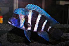 Perfect fish for a show tank! Tropical Freshwater Fish, Freshwater Aquarium Fish, Saltwater Aquarium, Tropical Fish, Aquarium Fish For Sale, Aquarium Fish Tank, Malawi Cichlids, African Cichlids, Fish Tank Gravel
